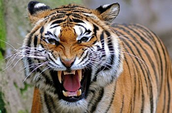 Harimau Asia